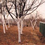 Witte Bomen 2000 - Photograph - 50x70 cm